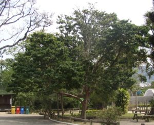 Caesalpinia echinata.